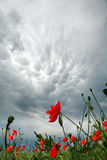 Storm clouds over a field of blossoming poppies Stock Photos