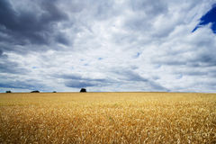 Storm clouds over a golden field. Stock Photos