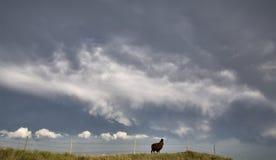 Storm Clouds Saskatchewan Llama. Storm Clouds Saskatchewan Prairie scene Llama Stock Image