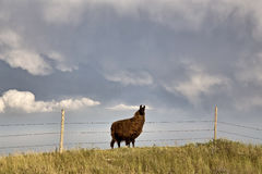 Storm Clouds Saskatchewan Llama. Storm Clouds Saskatchewan Prairie scene Llama Stock Photos