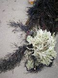After the storm. Colourful seaweed on the beach Stock Photography