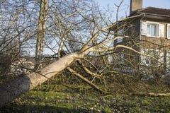 Storm cyclone tree felt. Storm cyclone tree elm orme fall down damage France Stock Image