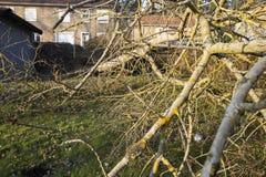 Storm cyclone tree felt. Storm cyclone tree elm orme fall down damage France Royalty Free Stock Photo