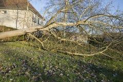 Storm cyclone tree felt. Storm cyclone tree elm orme fall down damage France Stock Photo