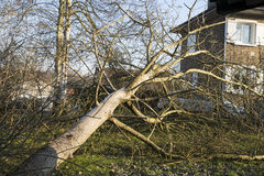 Storm cyclone tree felt. Storm cyclone tree elm orme fall down damage France Royalty Free Stock Image