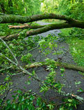 Storm Damage. Fallen trees on a paved path after tornado Stock Images