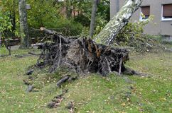 Storm damage after hurricane Herwart in Berlin, Germany. Storm damage with fallen birch and ripped out root ball after hurricane Herwart in Berlin, Germany stock image