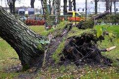 Storm damage after hurricane Herwart in Germany. Storm damage with fallen birch and ripped out root ball after hurricane Herwart in Berlin, Germany stock photos