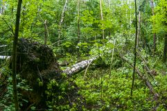 Storm damage. Fallen trees in the forest after a storm stock photo
