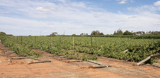 Storm Damaged Rows of Chardonnay Vines. Stock Photo