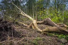 Storm damaged tree. Royalty Free Stock Images