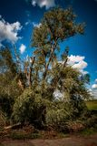 Storm damaged willow tree royalty free stock photo