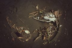 Storm Detritus and Dead Bird on a Beach. A black sand beach after a storm, with shells, leaves and detritus, including a dead bird Stock Photography