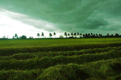 Storm while harvesting rice Royalty Free Stock Image