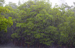 Storm in the jungle. With mangroves Stock Image
