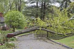 Storm Knocks Down Tree Stock Photo