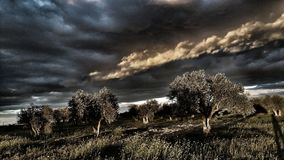 Storm and olives. Storm and olive trees stock images