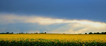 Storm over a field of sunflowers. Over a field of sunflowers hanging storm clouds. But sometimes the sun breaks through the clouds and lights up the field with Royalty Free Stock Image