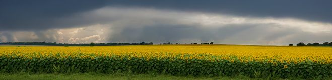 Storm over a field of sunflowers. A huge field of sunflowers, stretches to the horizon. Its bright yellow color, it seems even more intense in a dark, stormy Royalty Free Stock Photos