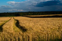 Storm over wheat crops. A storm at sunset over wheat crops Royalty Free Stock Photography