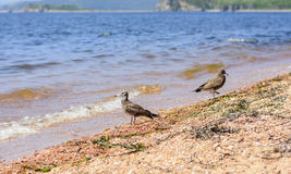 Storm petrel rests on the sea. 2017 Royalty Free Stock Photo