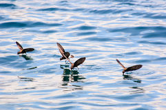 Storm petrels skating on the water Royalty Free Stock Photography