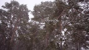 Storm in pine forest, beautiful snowy winter pine, spruce branches in the snow shakes the strong wind, winter landscape. Storm in pine forest, beautiful snowy stock footage