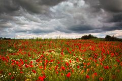 Storm Poppies. Poppyfield  under a stormy sky in Lincolnshire Stock Photos