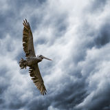 Storm Rider. A brown pelican gliding below ominous storm clouds stock image