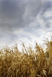 Storm Risk on Corn Field Stock Photos