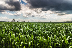 Storm sky corn field landscape Stock Images