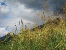 Storm sky grass meadow. Hay  grass leaves against  stormy sky Stock Images