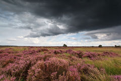Storm sky over flowering heather Royalty Free Stock Photography