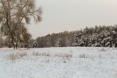 After the storm a strong frost frosted pine forests of the Carpathians in Ukraine Royalty Free Stock Photography