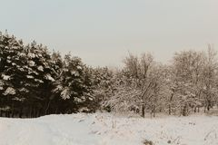 After the storm a strong frost frosted pine forests of the Carpathians in Ukraine Stock Image