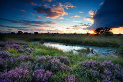 Storm at sunset over swamp with flowering heather Royalty Free Stock Photography