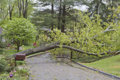 Storm Topples Oak Tree Across a Neighborhood Street Stock Images