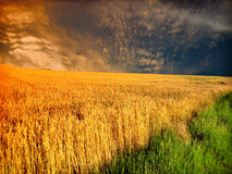 Storm in wheat field. Dramatic sky over a field of ripe wheat Royalty Free Stock Photo
