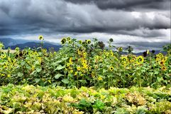 Storm, Wind and Sunflowers. First storm of the 2007 season blowing in Stock Photo