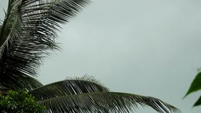 Storm winds blowing palm trees on tropical island. 3840x2160. 4k. Storm winds blowing palm trees stock video