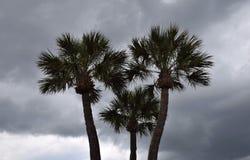 Stormachtig Palmtrio Royalty-vrije Stock Afbeeldingen