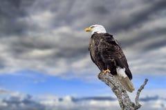 Stormachtige Hemel Kaal Eagle Stock Afbeelding