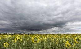Stormachtige hemel over het gebied van zonnebloemen Royalty-vrije Stock Foto