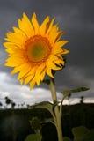 Stormachtige zonnebloem Stock Afbeelding