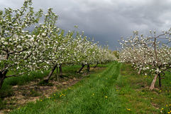 Stormclouds over an apple orchard Stock Images