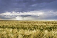 Stormen med mörker fördunklar över veteåker Arkivfoto
