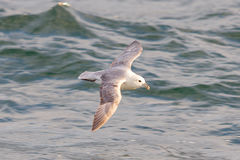 Stormfågel Fulmarusglacialis arkivfoto