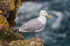 Stormfågel Klippa för Fulmarusglacialisstendingon shetland scotland fotografering för bildbyråer