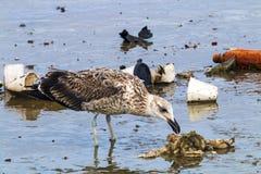 Stormfågelfågel som pickar på föroreningskräp i hamn Arkivbild