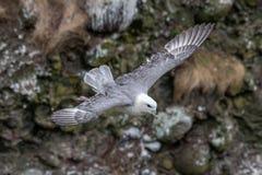 Stormf?gelFulmarusglacialis L?st livdjur i Skottland royaltyfria bilder